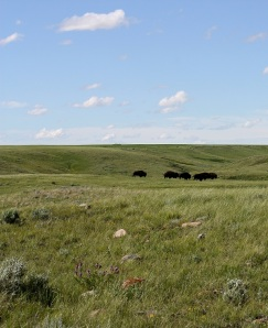 Bison, Grasslands National Park